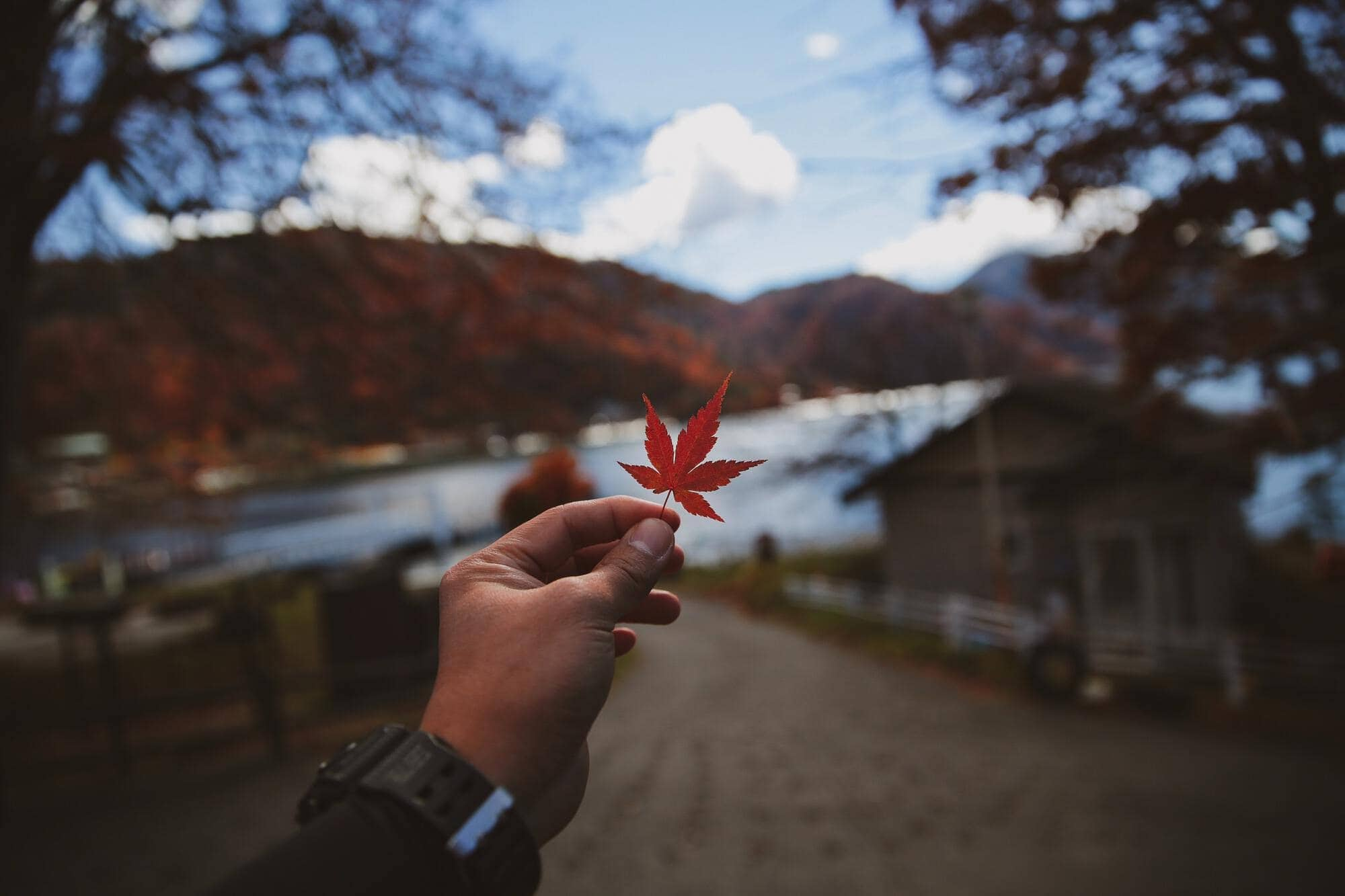 red maple leaf cannabis