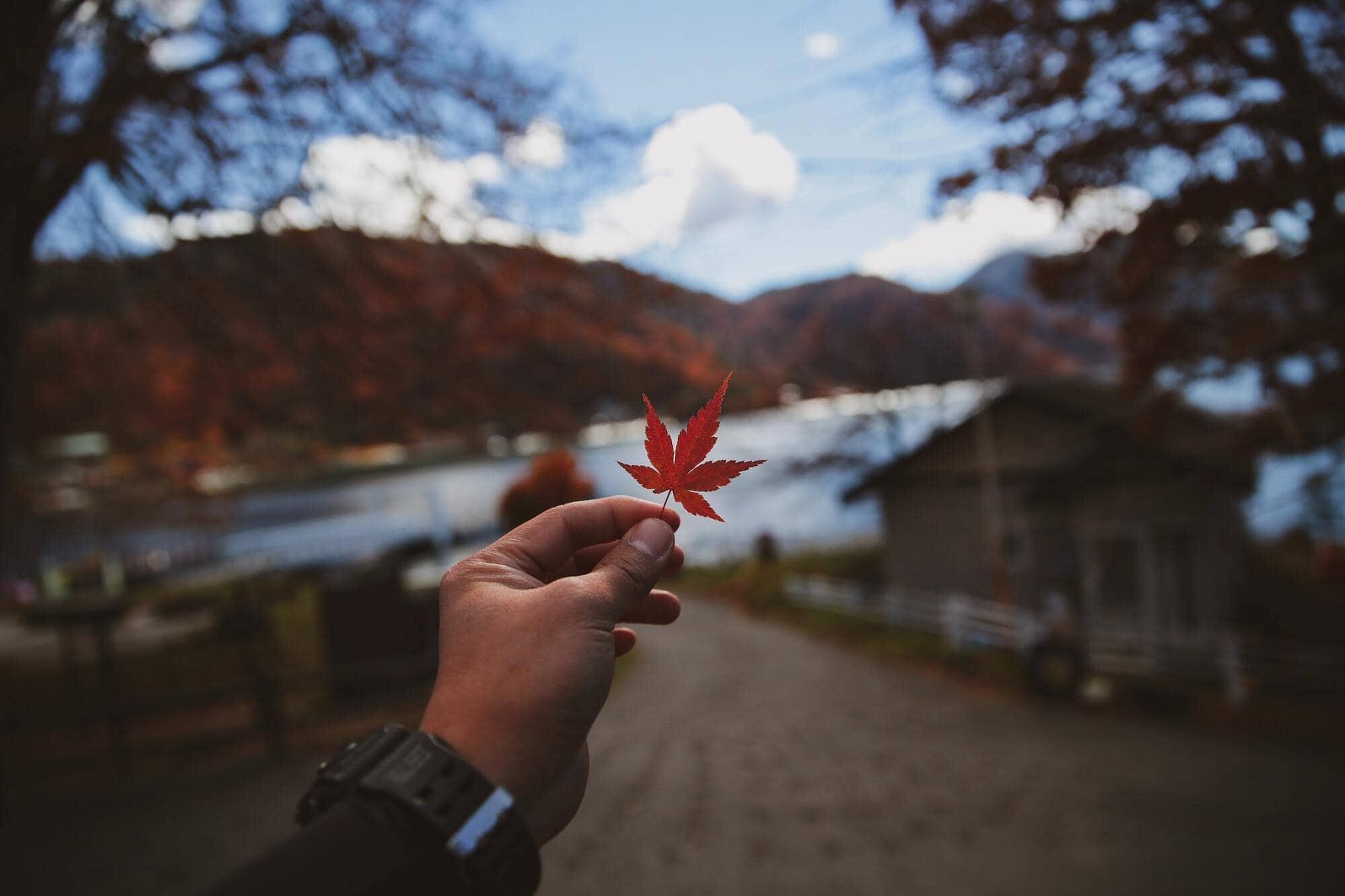 red maple leaf cannabis