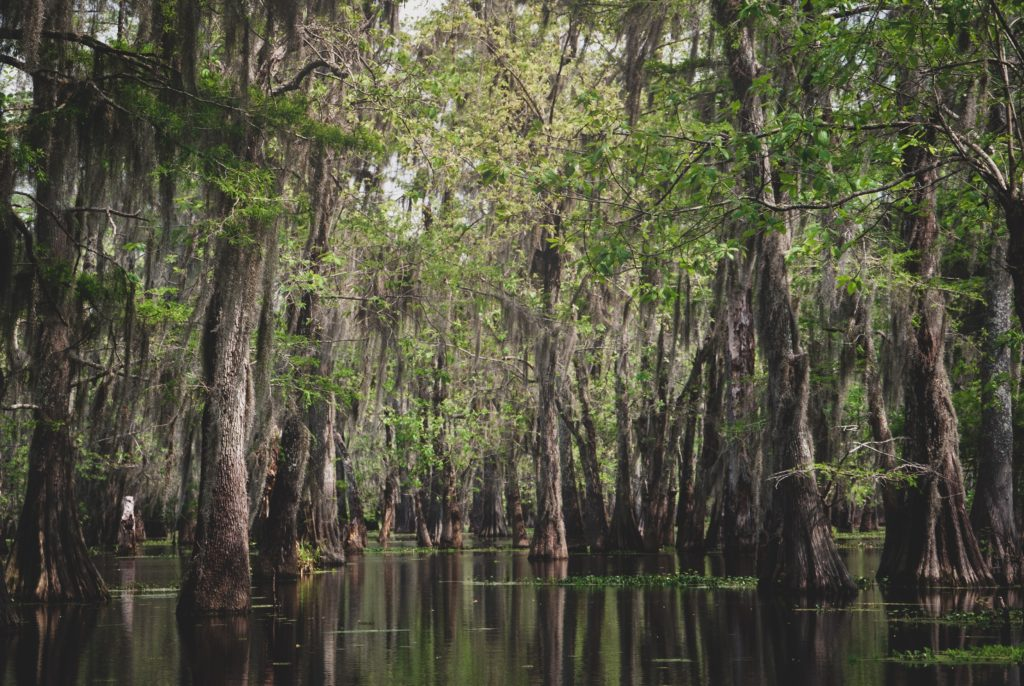 Trees rise from swampy waters in the deep south